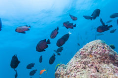 School of Threespot Dascyllus trimaculatus. Maldives Royalty Free Stock Photo