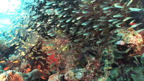 School of transparent glass fish on background underwater landscape in Red sea. Swimming in world of colorful beautiful world of coral reefs and algae stock video