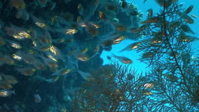 School of transparent glass fish underwater on background coral in Red sea. stock footage