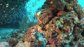 School of transparent glass fish underwater in coral in Red sea. stock video
