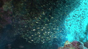 School of transparent glass fish underwater in coral in Red sea. stock video footage