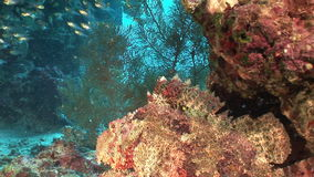 School of transparent glass fish underwater in coral of Red sea. stock footage