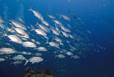 School of trevally in tropics Stock Photo