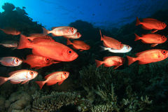 School of Tropical Fish Royalty Free Stock Photography