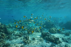 School of tropical fish with a blacktip reef shark Royalty Free Stock Images
