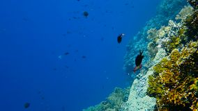 School of tropical fish in a colorful coral reef. With blue water   in background, Red sea, Egypt. Full HD underwater footage stock video