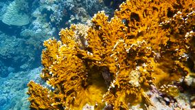 School of tropical fish in a colorful coral reef. With water surface in background, Red sea, Egypt. Full HD underwater footage stock video footage