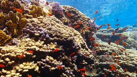 School of tropical fish in a colorful coral reef. With water surface in background, Red sea, Egypt. Full HD underwater footage stock video