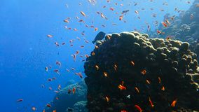 School of tropical fish in a colorful coral reef. With water surface in background, Red sea, Egypt. Full HD underwater footage stock footage