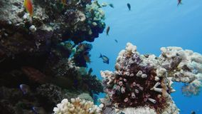 School of tropical fish in a colorful coral reef with water surface in background, Red sea, Egypt. stock footage