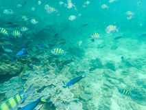 School of Tropical fish. Colorful tropical fish school over coral reef Stock Photo