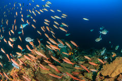 School of tropical fish on a deep water reef Royalty Free Stock Photography