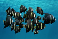 School of tropical fish French angelfish Royalty Free Stock Photo