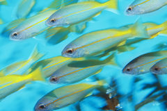 School of tropical fish in ocean Royalty Free Stock Image