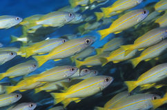 School of tropical fish in ocean Royalty Free Stock Images