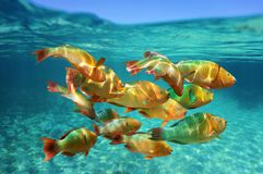 School of tropical fish Rainbow parrotfish Royalty Free Stock Image