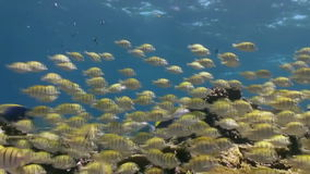 School of tropical fish on reef in search of food. A flock school of tropical fish on the reef in search of food. Amazing, beautiful underwater marine life stock video footage