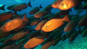 School of tropical fish on reef in search of food. A flock school of tropical fish on the reef in search of food. Amazing, beautiful underwater marine life stock video