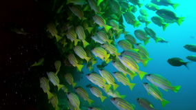 School of tropical fish on reef in search of food. stock video footage