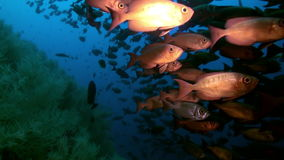 School of tropical fish on reef in search of food. A flock school of tropical fish on the reef in search of food. Amazing, beautiful underwater marine life stock footage