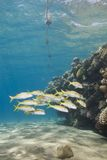 School of tropical fish on a shallow coral reef. Stock Photography