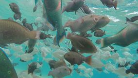School of tropical fish swim near the coral reef. School of tropical fish Rusty Parrotfish swim near the coral reef stock video