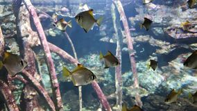 School of tropical fish swimming in aquarium with wooden branches on background. Underwater life, exotic fauna, ocean inhabitants stock video