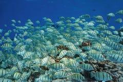 School of tropical fish underwater Pacific ocean. Convict surgeonfish Acanthurus triostegus, Tuamotu, Rangiroa, French Polynesia Stock Images