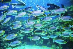 School of fish underwater. School of tropical fish underwater view background Royalty Free Stock Photo