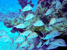 School of tropical fishes. Somewhere in the caribbean Royalty Free Stock Photos
