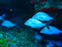 School of tropical fishes. Somewhere in the caribbean royalty free stock images