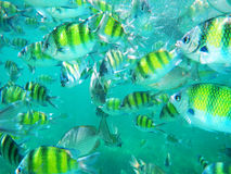 A school of tropical fishes. Royalty Free Stock Photography