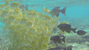 School of tropical yellow fish feeding on coral stock video