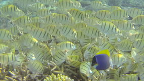 School of tropical yellow fish feeding on coral stock video footage