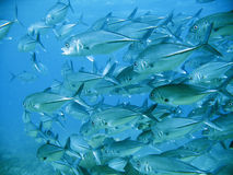 School of tuna. A large school of silver tuna swimming above a tropical coral reef on a scuba diving adventure Stock Images