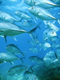 School of tuna Royalty Free Stock Photo