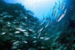 School of tuna Royalty Free Stock Photo