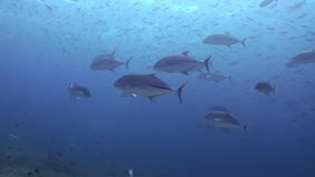 School of tuna fish on reef in search of food. A flock school of tropical fish on the reef in search of food. Amazing, beautiful underwater marine life world of stock footage