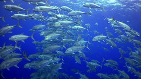 School Tuna fish swims in reef and in blue sea. School Tuna fish swims over rocky reef and in blue sea, Caribbean Cocos Costa Rica. Underwater landscape, rocky stock video