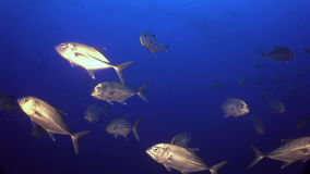School Tuna fish swims in reef and in blue sea. School Tuna fish swims over rocky reef and in blue sea, Caribbean Cocos Costa Rica. Underwater landscape, rocky stock footage