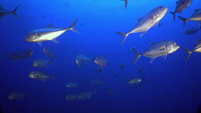 School Tuna fish swims in reef and in blue sea. School Tuna fish swims over rocky reef and in blue sea, Caribbean Cocos Costa Rica. Underwater landscape, rocky stock video footage