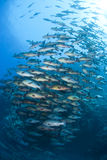 School of Twinspot snapper, blue background. Royalty Free Stock Images