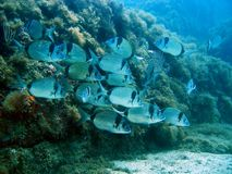 School of two-band sea bream Royalty Free Stock Image