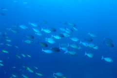 School of Unicorn fish school Naso Brevirostris at blue backgr Royalty Free Stock Photo