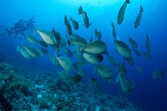 School of unicornfish Stock Image