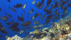 School of Unicornfish Royalty Free Stock Photos
