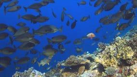 School of Unicornfish stock image