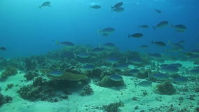 School of Unicornfish. A school of Unicornfishes swimming on a coral reef stock video footage