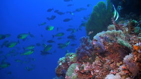 School of Unicornfish. A school of Unicornfishes swimming on a coral reef stock video