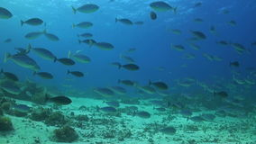 School of Unicornfish. A school of Unicornfishes swimming on a coral reef stock footage